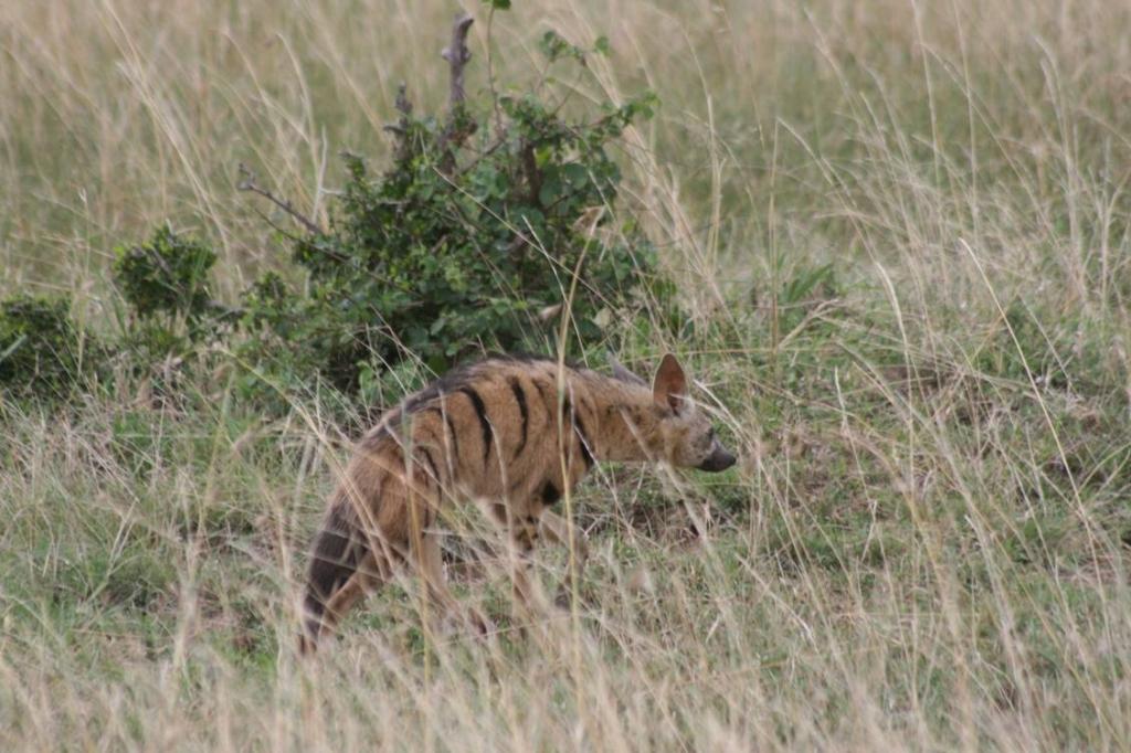 Streifen Hyäne in der Masai Mara
